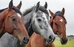 Koně - Krušné hory